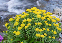 Rhodiola:Uses, Side Effects, Interactions, Dosage, and Warning